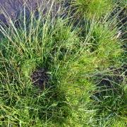 Uferschnepfen-Nest mit Küken